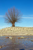 Tree at the shore of the Rhine Rhein Stock Photography