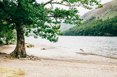 Tree on the shore of the Upper Lake, Glendalough, Ireland. Old tree on the shore of the Upper Lake, Glendalough, Co. Wicklow, Ireland Royalty Free Stock Photography