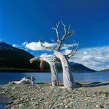 Tree on shore, Ushuaia, Argentina Royalty Free Stock Photos