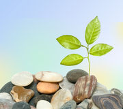 Tree shot growing from pebbles Royalty Free Stock Images