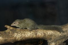 Tree Shrew Royalty Free Stock Photos