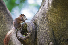 Tree shrew Royalty Free Stock Images