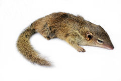 Tree Shrew Royalty Free Stock Photo