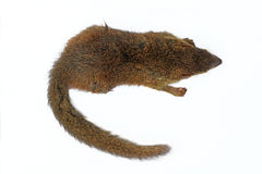 Tree Shrew. Common treeshrew or Southern treeshrew (Tupaia glis Royalty Free Stock Photos