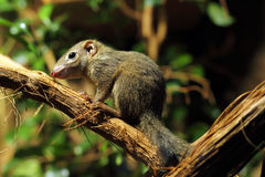 Tree shrew. Sitting on branch Stock Photos
