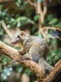 Tree shrew squirel. Common tree shrew animal closeup Stock Photography
