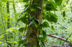 The tree is shrouded in a climbing plant. Royalty Free Stock Photography
