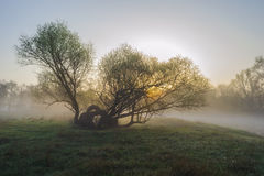 Tree shrouded in mist. Royalty Free Stock Images