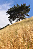 Tree on side of hill with long golden grass Royalty Free Stock Photos