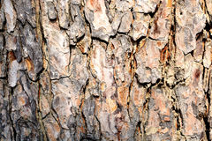 The tree side view of old wood texture. In forest. Can be used as background Royalty Free Stock Photo