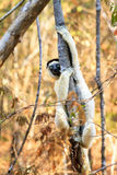 Tree Sifaka Stock Photos