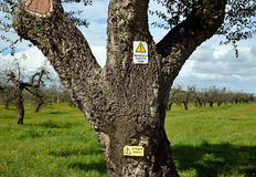 Tree with signal. Olive tree and fallen branches danger signal Royalty Free Stock Image