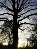 Tree Sihouette. A big oak tree with the setting sun behind the tree stock photo