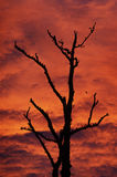 Tree Silhouette. Silhouette of leafless bird laden tree with orange sunset Royalty Free Stock Photos