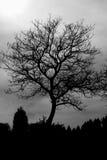 Tree Silhouette Royalty Free Stock Image