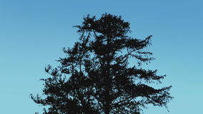 Tree Silhouette Against Blue Sky. Large tree in breeze on a blue sky stock video