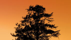 Tree Silhouette Against Sunset Sky. Large tree in breeze against fiery orange sky in the evening stock footage