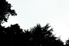 Tree silhouette background. Silhouette of pine tree forest. Black pine trees silhouettes for design. Stock Photos