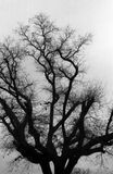 Tree. Silhouette in black and white Royalty Free Stock Images