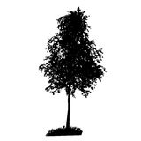 Tree Silhouette Isolated on White Backgorund. Stock Photo
