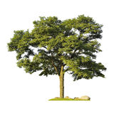 tree silhouette isolated on white background Stock Image