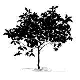 Tree silhouette kumquat Fortunella Swingle L royalty free stock image