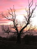 Tree Silhouette with Pink Sky stock photo