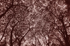 Tree Silhouette Sepia Royalty Free Stock Images