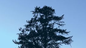 Tree Silhouette In Strong Wind. Large tree moving around in windy weather on a blue sky stock video