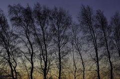 Tree Silhouette Before Sunrise. Naked tree silhouettes sharply outlined against the predawn sky Royalty Free Stock Images
