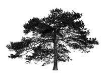Tree silhouette. On white background Stock Photo