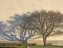 Tree silhouette on wall background with morning sun ,branches and shadow, green grass. Image royalty free stock photos