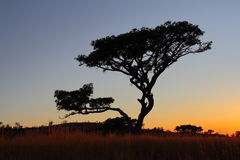 A tree silhouetted against the African sky at sunrise Royalty Free Stock Photography