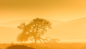Tree silhouetted against Namibian desert dunes with yellow tones. Royalty Free Stock Photos