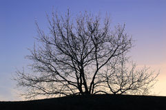 Tree silhouetted at sunset. Scenic view of bare branched tree silhouetted at sunset Stock Photo