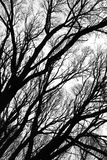 Tree silhouettes isolated. Abstract natural decorative graphic  background with pattern of black tree branches silhouettes isolated over white backdrop. Can be Royalty Free Stock Photo
