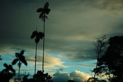 Tree silhouettes of palm trees and an old tree with a vivid blue and white sky in the background stock photo