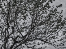 Tree silhuette black and white Royalty Free Stock Photo
