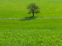 Tree. Single tree in a clean meadow on a sunny day Royalty Free Stock Images