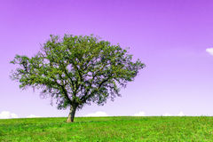 Tree. A single tree in a meadow Royalty Free Stock Photography