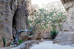 Tree in the Siq growing out of a crevice with little topsoil and fighting for its survival in the desert in the rock town and necr. Opolis Petra, Jordan, middle Stock Images