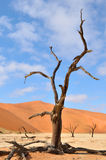 Tree skeletons, Deadvlei, Namibia Royalty Free Stock Image