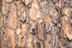 Tree Skin Bark Detail Royalty Free Stock Photo