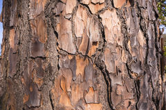 Tree Skin Texture Detail Royalty Free Stock Image