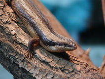 Tree-skink. A tree - skink on a tree royalty free stock images