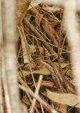 Tree Skink camouflage Stock Images