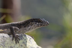 Tree Skink (Egernia striolata) Stock Photography