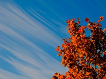 Tree and Sky. Fall or autumn foliage with streaky clouds in blue sky background Stock Photo