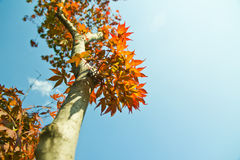 Tree, sky. Leaves, red sky background, high angle Stock Photos