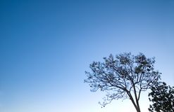 Tree and sky. A naked tree on clear blue sky backgound, place for text on left Royalty Free Stock Photo